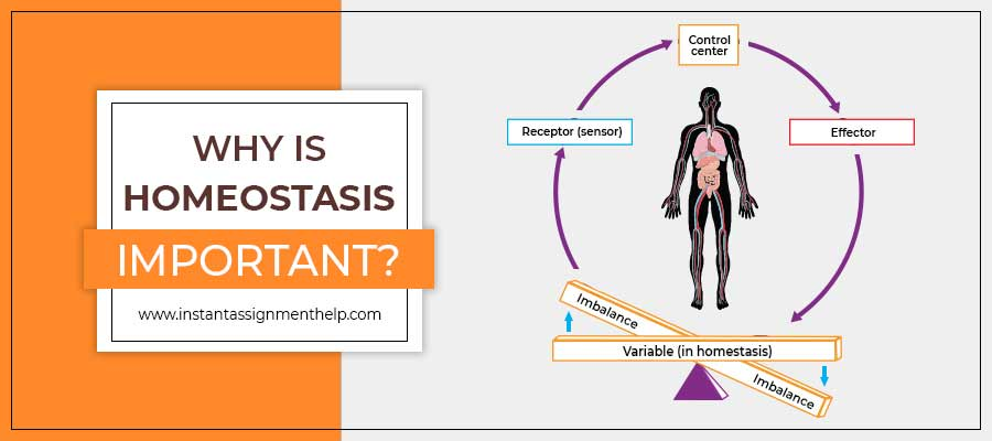 Why Is Homeostasis Important?
